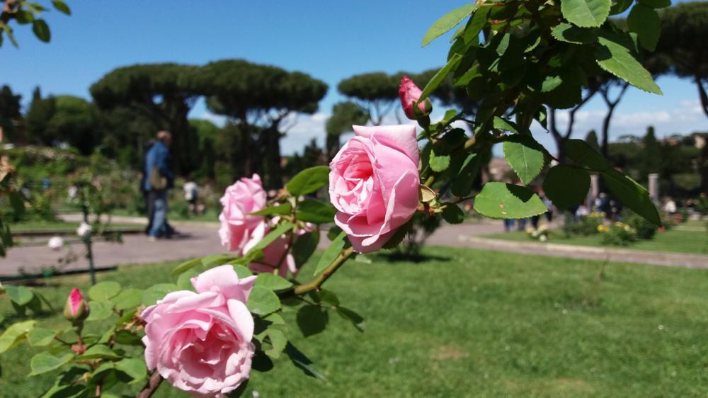 Розы в парке Савелло